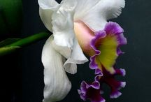 Orchids / Variety and maintenance.