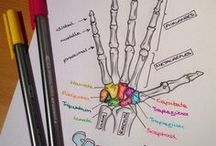 SYSTEMS: Musculoskeletal / muscles and bones, structure and function, links and resources for teaching the musculoskeletal system