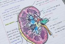 SYSTEMS: urinary & reproductive / organ structure an function of the genitourinary system & disorders, links & resources