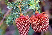 Plants & Shrubs / Australian Natives