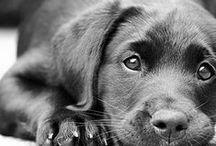 Love for labradors
