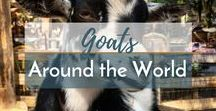 Goats Around the World / I am convinced that goats are my spirit animal and cannot get enough of those spunky, springy, fearless goats, so enjoy this collection of goats from around the world!