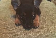 Baxter / #Jackchi #Puppy #miniatureJackRussell #Chihuahua
