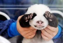 ~Panda Love~
