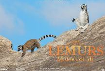 Island of Lemurs: Madagascar / Lemurs are some of our planet's most interesting primates – they dance, they sing, and they're coming to IMAX theatres in April 2014! / by IMAX®