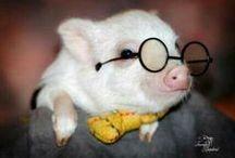 Mini pigs / oh so lovely