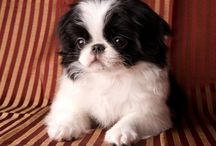 My love!my dog! Japanese chin / Japanese chin dog
