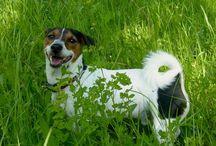 Jack russel terrier ❤️ / Lui è Gegè Jack, il mio adorato cangnolino <3