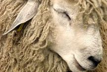 Merino Sheep Love / We love our Merinos - all 15,000 of them!