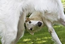 New borzoi / New pictures on Borzois
