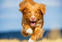 Tollare / Nova Duck retriever