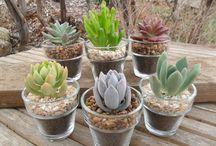 Echeveria & Succulent plants..