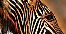 TIERE black & white - Zebra, Tapir, Dachs
