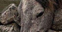 HORSE colour typ roan / stichelhaarig / marmor