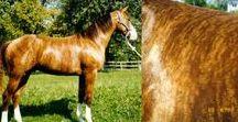 HORSE colour typ brindle&lace