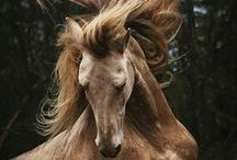 HORSE colour typ perlino / cremello / champagner / isabell / palomino