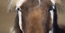 HORSE badger face