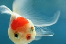 Animal - Fish