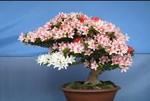 Bonsai / Bonsai history, styles, seasonal care and much more.