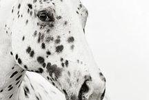 Zebra & Horses