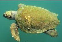 Loggerhead Sea Turtles in Kefalonia, Greece
