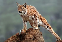 Small, but Mighty Wild Cats / by T S