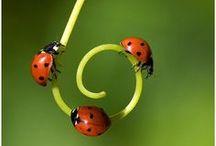 """Lieveheersbeestje/Ladybug / Het verhaal gaat dat insecten de gewassen vernielden; boeren baden tot Maria om hulp. al snel verschenen de lieveheersbeestjes, die het ongedierte opaten en de oogst redden. De boeren zagen dit als een geschenk van de Heer en noemde de beestjes """"Onzelieveheersbeestjes""""  Als een lieveheersbeestje je tegemoet komt vliegen, zou het geluk je toelachen. Als je een lieveheersbeestje dood maakt, zou je juist heel wat ongeluk te wachten staan. Ook zou dit diertje zorgen voor geluk in de liefde"""