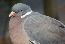 Gołębie / Pigeons