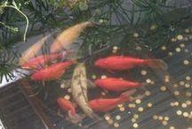 Akwaria. Rybki / Fishes