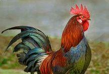 Farm Fowl / Chickens, Turkeys. Domestic Ducks & Geese / by Barbara A Reid