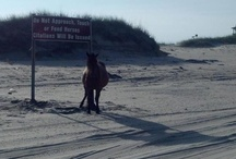 Carova / Carova consist of the northern most section of the Outer Banks. It covers about 11 miles of beach, is all zoned residential, has no paved roads, and is home to the Corolla Wild Horses.