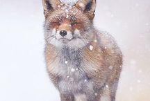 ⭐️Vos/Fox