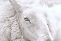⭐️Schaap(je)/Sheep (lambs)