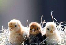 ⭐️Kippen/Chickens