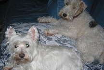 My Wire Haired Fox Terrier and Westie  / Best Friends and soul mates. / by Kathy Beck   Aka... Just faux Fun