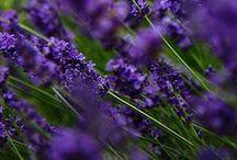 F Lavender