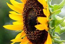 F Sonneblomme
