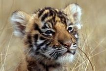 Save the Tigers / Sponor IFAW and save the Tigers