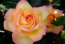 Rose Mme A. Meilland Peace