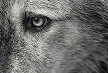 volpi e lupi