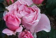 mon jardin de roses / photos des roses repertoriées dans mon jardin