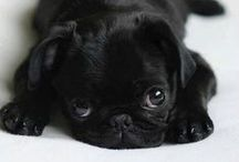 Pugs / The most adorable of all the breeds!