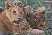 Safari / O zvieratach