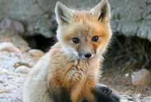 Pure-Hearted Foxes / Humanity, come together and love foxes! / by Jordan Larson