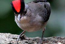 Pássaros do Brasil / Entendo que nós, menosprezamos e desvalorizamos nossa rica fauna e flora brasileira de uma forma geral. Cresci aprendendo e conhecendo aves nativas. É por essa paixão, que presto essa singela homenagem aos pássaros  mais lindos do mundo: os brasileiros!