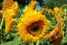 My Yellow Garden