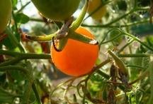 Terrific Tomatoes!