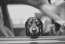 • dachshund •