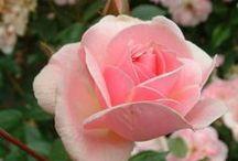 Pot aux Roses / by ˙·●●๑۩  Maïa Lavida  ۩๑●●·˙