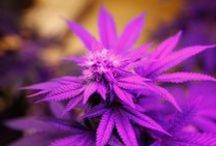 Pretty Pictures of Cannabis